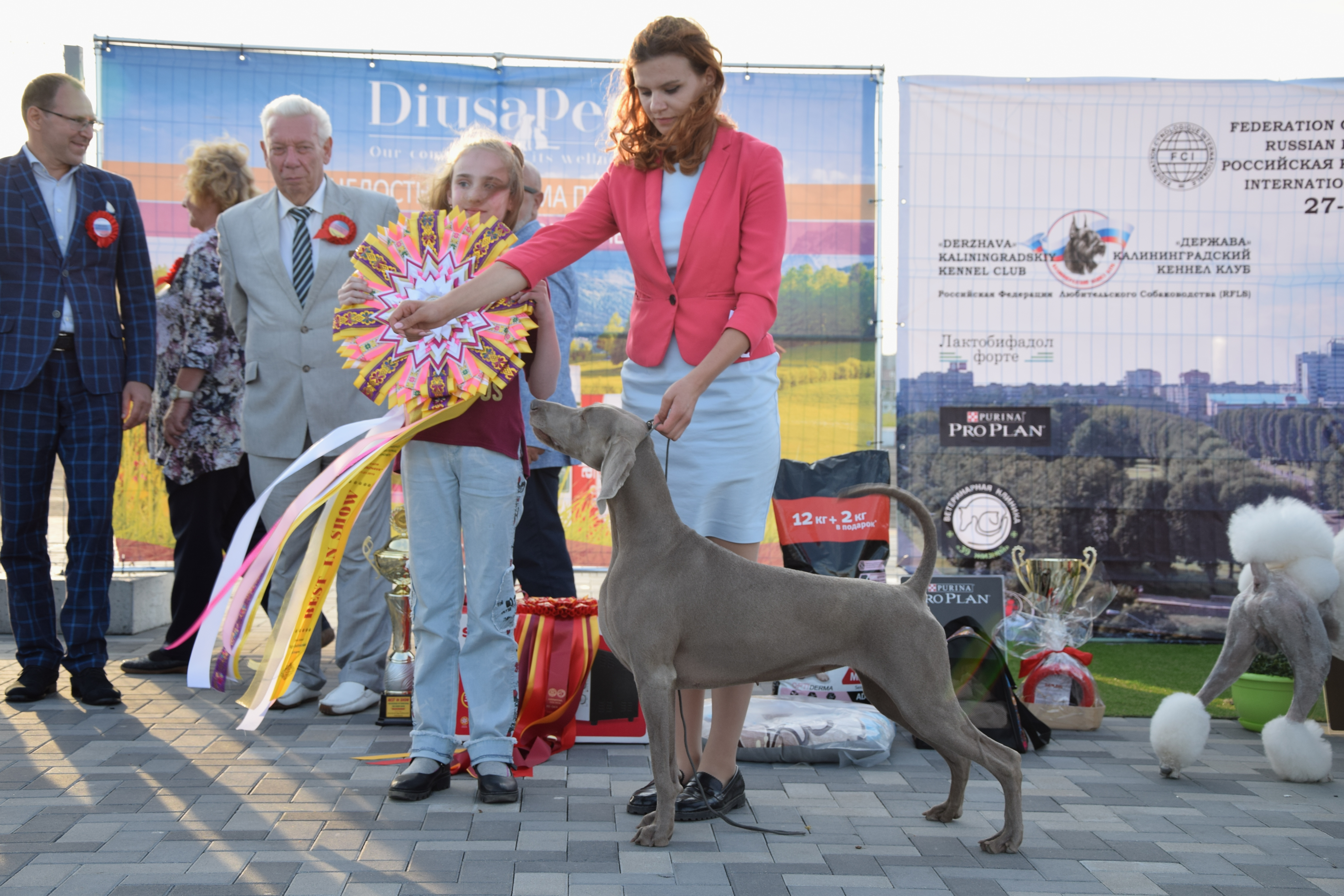 Household weimaraners' breeding in Poland A-Awa | weimar
